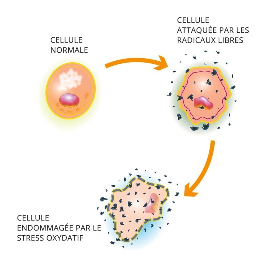 moringa et protection cellulaire